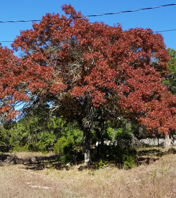 Texas Red Oak Fall Color